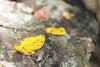 Early Fall - Compton Gap Trail (ShenandoahNPS) Tags: fall earlyfall earlyfallcolor shenandoahnationalpark shenandoah beech beechleaf beechleaves