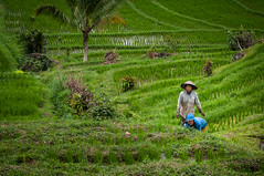Do you like rice? (robertofaccenda.it) Tags: trip travel vacation bali indonesia asia paddy ricefields viaggi ricepaddy holydays vacanze risaia risaie arrozal jatiluwih rizire sudestasiatico asiansoutheast jatiluwihricefields