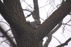 a different winter's day (turn off your computer and go outside) Tags: outdoors grey squirrel december nps critter overcast wi latefall janesville greysquirrel palmerpark warmwinterday nationaliceagetrail