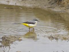 Bergeronnette des ruisseaux (JFB31) Tags: des ruisseaux bergeronnette {passriformes} {motacilla cinerea} {grey wagtail} {motacillids}