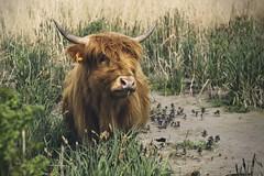 Im Paradies (tmertens0) Tags: 85mm 9 m42 jupiter rheinhessen renaturiert selz selztal hochlandrinder hahnheim schottische srgenloch