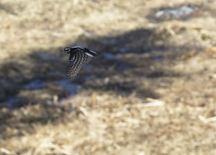 "Woodpecker in flight 3 • <a style=""font-size:0.8em;"" href=""http://www.flickr.com/photos/30765416@N06/16720828310/"" target=""_blank"">View on Flickr</a>"