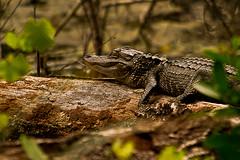 snooze1-sm (TressChapin) Tags: sun log gator asleep