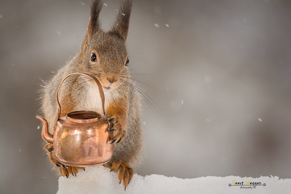 the worlds best photos of squirrel and teapot flickr