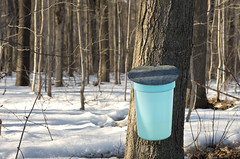 Sap Bucket (Twitter: @DriedgerDan) Tags: snow ontario tree bucket spring maple elmira syrup sap pail