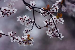 Bloesem. Hanami. Blüte. Blossom. Fleur. Fioritura. Utrecht. 40