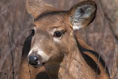 2015 White-tail Deer 3 (DrLensCap) Tags: park white chicago robert nature animal mammal illinois village tail ngc north center doe il deer npc kramer whitetail ruby10