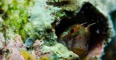 Tessellated  Blenny_Bari Reef_Bonaire 2015 9 (R13X) Tags: diving bonaire macrophotography underwaterphotography blenny 105mm shorediving nikon105mm barireef blennies dutchcaribbean denlaman tessellatedblenny tesselatedblenny orangespotttedblenny