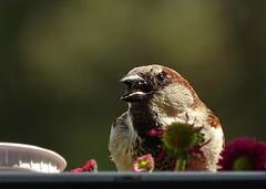 Kleiner Spatz (Harald52) Tags: tiere natur vogel spatz