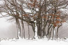 Ipar haizearen seme-alabak (izubiaurre) Tags: schnee trees winter espaa snow fog landscape flora rboles nieve atmosphere paisaje invierno es atmosfera niebla vegetacin elurra navarra atmsfera zuhaitzak paisaiak negua behelainoa landaredia estellaoriental