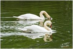 zwanen (7D0270056) (Hetwie) Tags: bird water swan nederland kanaal noordbrabant helmond zwanen watervogel