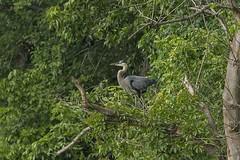 GREAT BLUE HERON (nsxbirder) Tags: indiana greatblueheron brookville ardeaherodias whitewaterriver leveerdbrookville
