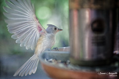Titmouse at Feeder (Bonnie Marquette) Tags: bird nature animal titmouse