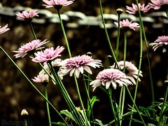 Majestic (zhadjam) Tags: flowers flickrnature nature flora details
