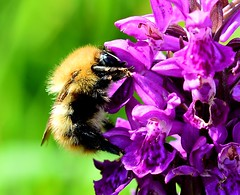Common Carder Bee - Bombus pascuorum (Joan's Pics 2012) Tags: brown orchid yellow insect commoncarderbee nectareater