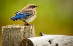 The Fledgling (Jeff Clow) Tags: wild nature birds animals wildlife bluebird wyoming fledgling animalpics animalphotograph