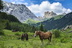 Val Duron, Campitello di Fassa, Trentino (Giambarresi Francesco) Tags: valduron campitellodifassa trentinoaltoadige trentino valle cavallo cavalli praro natura