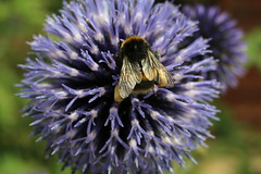 Bee on a Thistle (Crisp-13) Tags: insect macro flower wing bee wings pollen sack basket