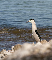 Black Crowned Night Heron (Mike Matney Photography) Tags: 2016 canon eos7d horseshoelake illinois july midwest bird birds egrets herons nature wildlife blackcrownednightheron