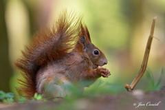Red Squirrel Spring 2016 (Jan Canck) Tags: trees veverkybest nikon200500f56 wildlife mammals redsquirrel nature veverkybest2016 squirrelspring rodents animals forest d810 squirrel nikon mladboleslav centralbohemiaregion czechrepublic cz ngc