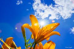 () Tags:         flower lily fullbloom sunny sun diamond summer japan