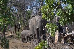 Elephant & calf (Joshua Daskin) Tags: wildlife africa canon 60d 100400 southafrica roadtrip animal safari savanna ecology biology kruger national park