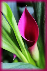 calla c (withrow) Tags: callalily