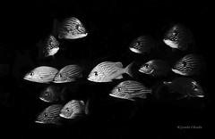 Eyes in the dark (kyshokada) Tags: blackandwhite monochrome blackbackground canon mexico mono underwater scuba diving monochromatic caribbean roatan reef animalplanet corals islamujeres grunts bluestripedgrunt