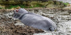 Good for the skin? (jangurney) Tags: grey zoo mud hippo bliss