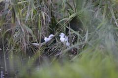 battibecchi (carlo612001) Tags: bird nature birds animal animals natura uccelli uccello oasidisantalessio