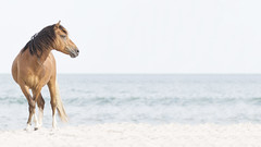 Forever Wild (gimmeocean) Tags: assateagueislandnationalseashore assateagueisland assateague maryland md wildhorse horse equine beach sand ocean hss silderssunday sliderssunday