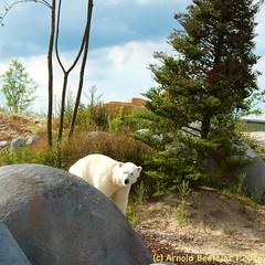 ijsberen_18 (Arnold Beettjer) Tags: wildlands emmen dierenpark dierentuin dierenparkemmen ijsbeer ijsberen polarbear