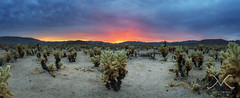 Cholla Cactus Garden Sunset (Mike Ver Sprill - Milky Way Mike) Tags: dark sunset cholla cactus garden clouds cloudy storm storms brewin landscape panorma pano panormaic california joshua tree national park cali travel 29 springs nikon d800 1424 hdr high dynamic range stack michael ver sprill mike versprill peter lik best greatest photography fine art amazing camping road trip explore gloomy gloom dramatic drama outdoor sky sea cloud coast shore ocean water serene