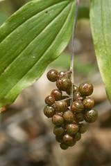 Maianthemum racemosum ssp. racemosum (Smilacina racemosa (Layla Dishman) Tags: asparagaceae