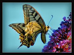 """ein sehr eleganter Flieger und der schnste """"Flattermann"""" (karin_b1966) Tags: nature butterfly garden insect natur insekt garten schmetterling 2016 schwalbenschwanz papiliomachaon yourbestoftoday"""
