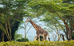 Rothschild's Giraffe (J C Mills Photography) Tags: kenya safari lake nakuru national park giraffe animal trees acacia woodland rift valley africa rothschilds