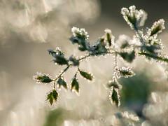 rijp (de_frakke) Tags: hoarfrost rijm gras morning ochtend fris bokeh