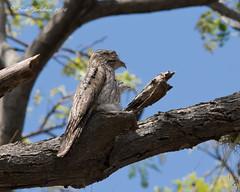 Northern Potoo (Nyctibius jamaicensis) (Frode Jacobsen) Tags: jamaica frodejacobsen smithsonianmigratorybirdcenter smithsonian bird aves caribbean canoneos7dmarkii canonef30040lisusm northernpotoo nyctibiusjamaicensis