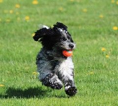 Is that a camera? Is this my 15 minutes of fetch fame!! (danstambaugh) Tags: play chuckit fetch pa dog pet