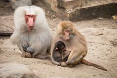 2016-08-09-12h20m01.BL7R8153 (A.J. Haverkamp) Tags: canonef100400mmf4556lisiiusmlens amersfoort zoo dierentuin dierenparkamersfoort httpwwwdierenparkamersfoortnl thenetherlands mantelbaviaan papiohamadryas hamadryasbaboon