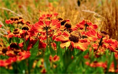 Summer Vacation (farmspeedracer) Tags: nature summer august flower fleur blume red orange yellow sun light park garden monday germany field ground