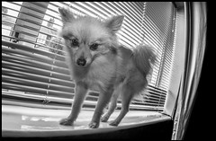 Boo the Pomeranian. (CWhatPhotos) Tags: samyang fisheye fish eye prime lens window blinds sill windowsill photographs photograph pics pictures pic picture image images foto fotos photography artistic cwhatphotos that have which with contain mark 2 omd em10 mk ii olympus esystem four thirds digital camera m43 animal pet cute portrait dog boo pom pomeranian zwergspitz dwarfspitz dwarf spitz pompom dogs