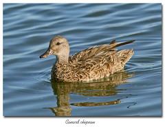 Canard chipeau / Gadwall 153A8786 (salmo52) Tags: oiseaux birds salmo52 alaincharette canardchipeau gadwall anasstrepera barboteurs baiedufbvre anatids anatidae