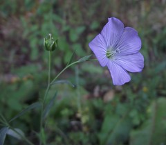 Linum usitatissimum (Cultivated Flax), flower from side, Symondshyde Farm, Hatfield, 23.8.16. (respect_all_plants) Tags: cultivated flax linumusitatissimum symondshyde hatfield herts hertfordshire wildflowers