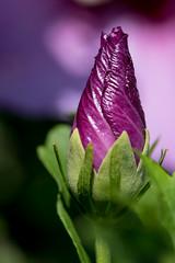 Hibiscus knop-1034.jpg (Jostiwerken) Tags: bloem hybiscus macro knop paars rose