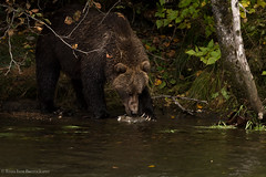 My What Big Claws (rishaisomphotography) Tags: sow motherbear kodiak wild wildlife claws water fishing alaska usfws buskinriver nature naturephotographer wildlifephotography mammal predator carnivore fur