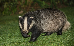 Claws at the ready (davidrhall1234) Tags: badger wildlife wildlifetrust world threatened endangered nature nikon nikond7100 countryside mammal