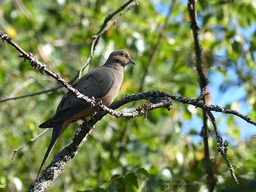 Mourning Dove - Richmond, BC