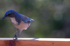 IMG_6331 (armadil) Tags: backyard bird birds jay jays scrubjay scrubjays