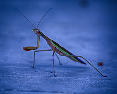 Privacy Please (Chris Ehrlich Photography) Tags: cde photography praying mantis nature insect blue